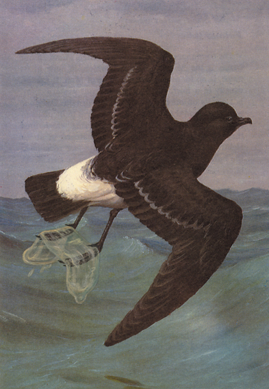 'Lady Amherst's Lesser Big-eared Ring-necked Semi-collared Bar-headed Pink-footed Red-Eyed Short-arsed Buff-bellied Fanny-tailed Ruddy-checked Needle-nobbed Trustafarian Bean Warbling Uphill Oystercatching Snipe' (Commenticus Combibo), 2006. Legend in boo