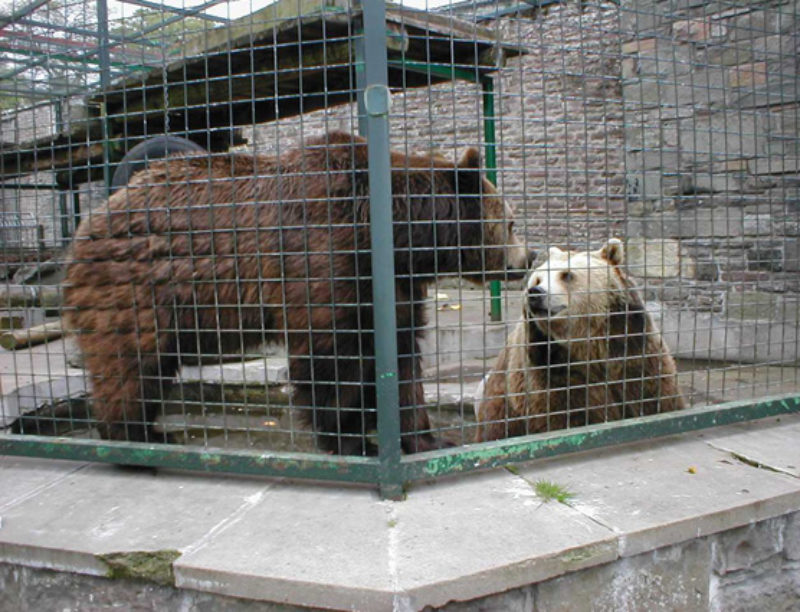 European Brown Bears at Camperdown Wildlife Centre, Dundee, May 2004