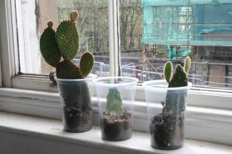 Rachel Bradley, 'Frequent flyer', 2012, scarred Opuntia family cacti, cacti soil, plastic beer cups, dimensions variable