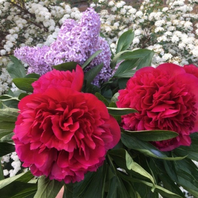 Garden Peonies And Lilac
